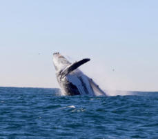 Whale breaching in Newcastle, NSW